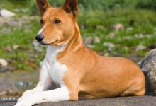 Photo of Basenji Köpek Cinsi