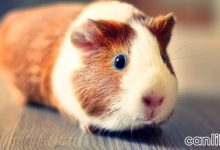 Photo of Guinea Pig
