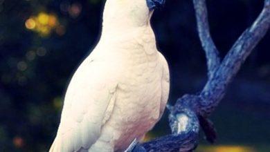 Photo of Kakadu Papağanları Hakkında Genel Bilgiler