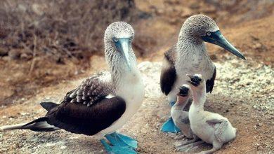 Photo of Mavi Ayaklı Sümsük Kuşları