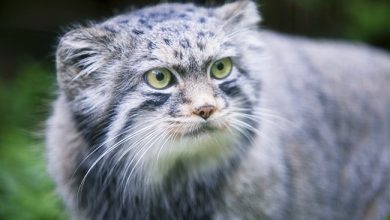 Photo of Pallas Kedisi (Otocolobus manul)
