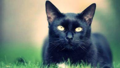 Photo of Siyah Kediler Hakkında İlginç Bilgiler