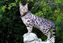 Photo of Bengal Kedisi Özellikleri, Tarihçesi Ve Bakımı