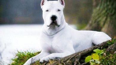 Photo of Dogo Argentino Köpek Irkının Özellikleri