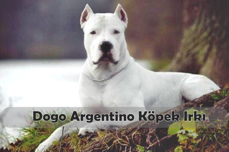 Dogo Argentino Köpek Irkı