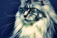 Photo of Devasa Kedi Irkı: Maine Coon Kedisi