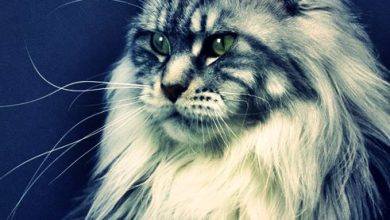 Photo of Devasa Kedi Irkı: Maine Coon Kedisi