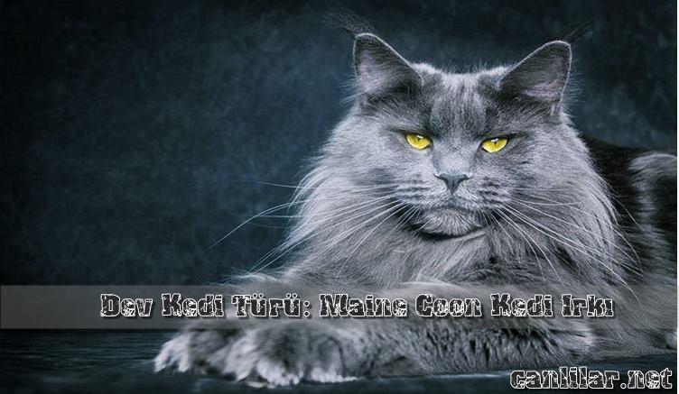 Maine Coon Kedi türünün özellikleri