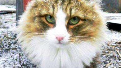 Photo of Sibirya Kedisi Özellikleri