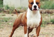 Photo of American Staffordshire Terrier Özellikleri ve Bakımı