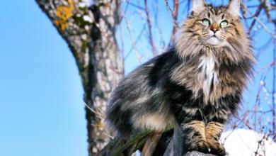 Photo of Norveç Orman Kedisi Özellikleri, Bakımı ve Tarihçesi