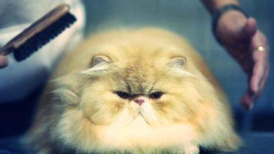 Photo of Tüy dökmeyen kedi türleri
